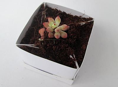 Suculenta en mini cajita de regalo matera