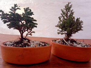 Mini bonsai para regalos empresariales